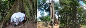 nakiyima-tree-mubende