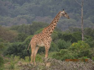 uganda wildlife safaris tour